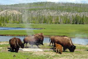 Bison_near_a_hot_spring_in_Yellowstone